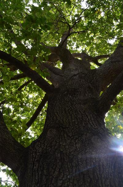 Collect acorns under the magestic Oak Trees