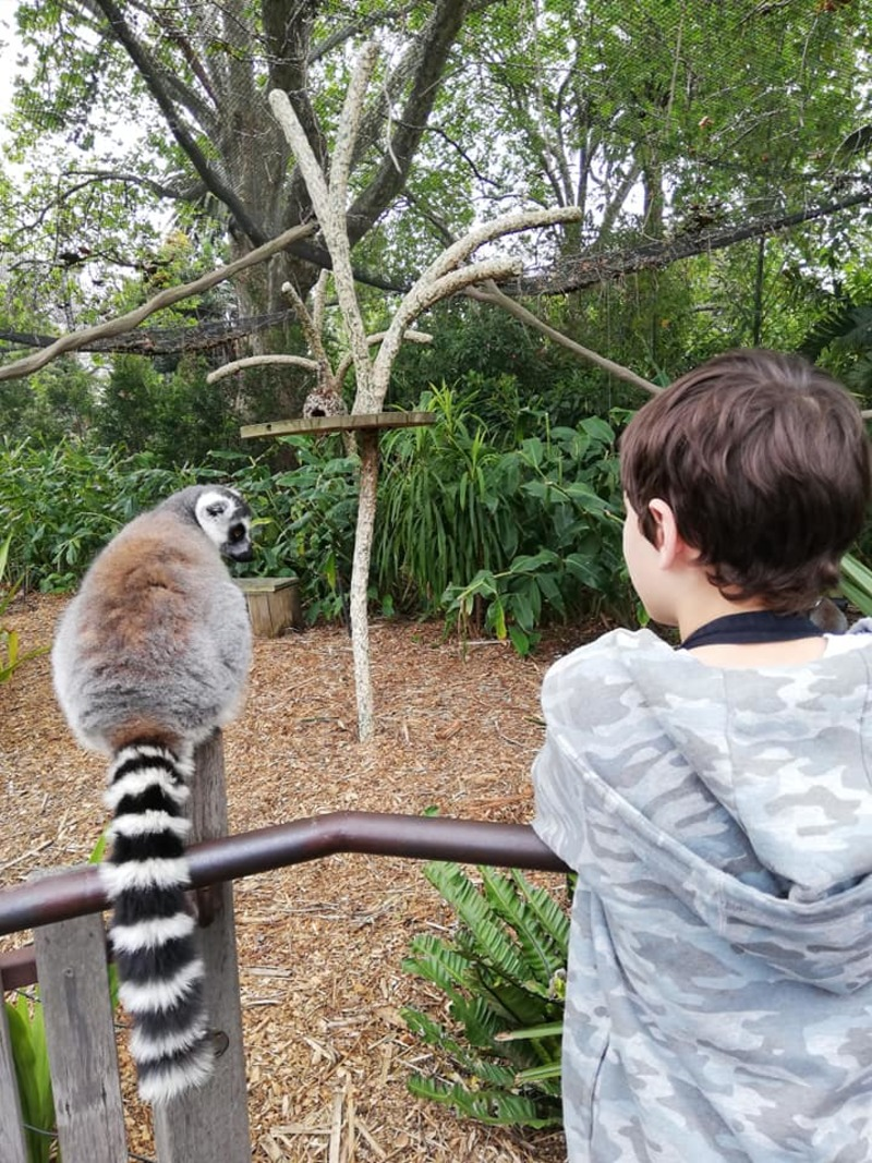 Lemur Close-up Experience at Melbourne Zoo