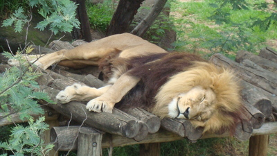 lion, king of the jungle, lion at Melbourne zoo, lion sleeping, lazy lion